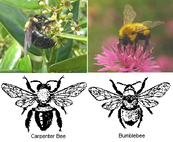 Compare Carpenter Bees to Bumble Bees